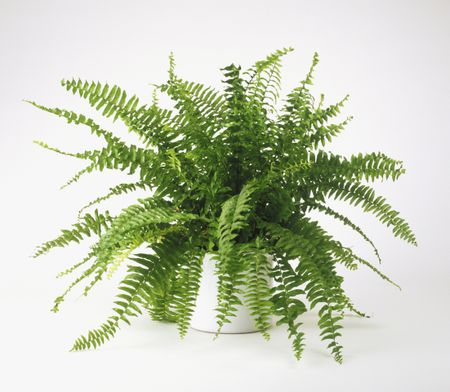 nephrolepis-exaltata-bostoniensis--boston-fern---growing-in-pot-81992640-5a9873a5fa6bcc003775071f